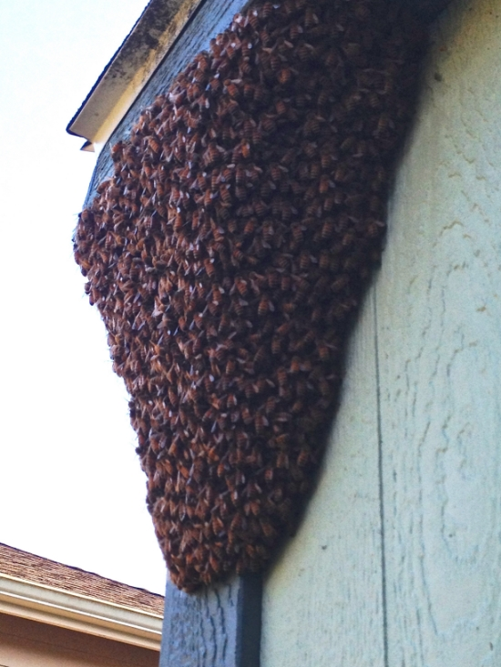 A swarm of bees clinging to the side of a shed