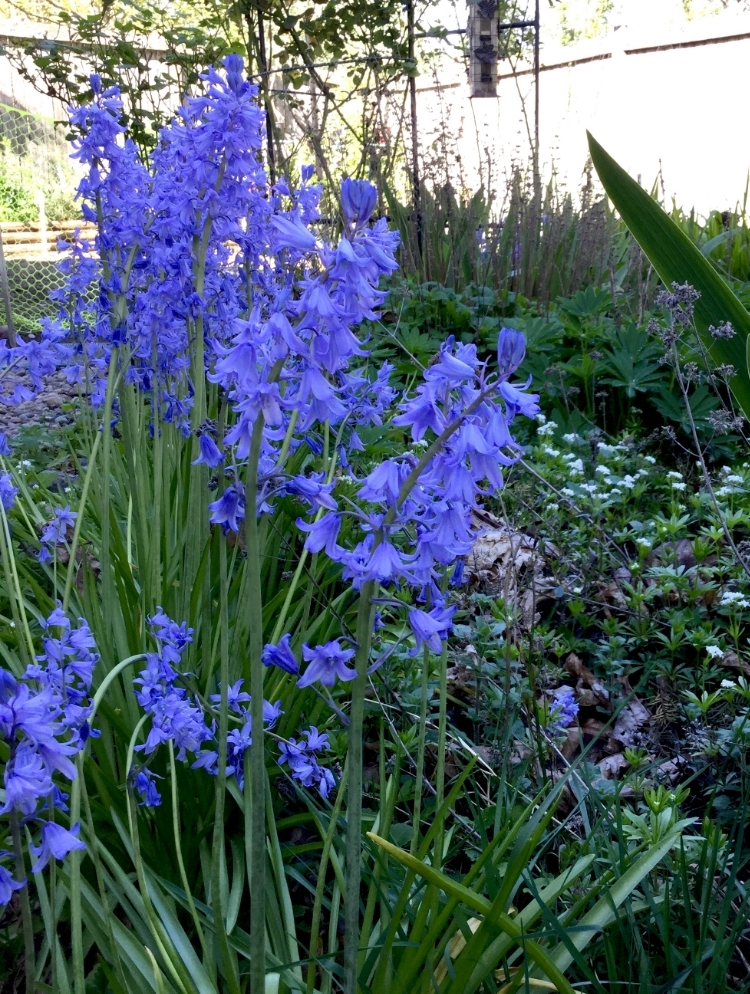Common bluebells (hyacinthoides)
