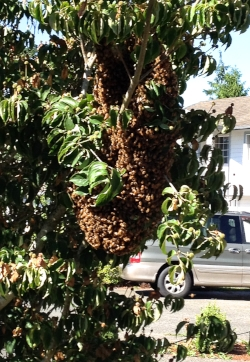 A swarm of honeybees. These came from one of my hives, thankfully landing in a neighbor's tree and not somewhere inside his attic.