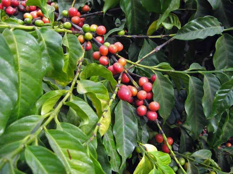 11 coffee plant.jpg