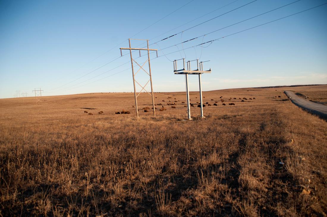 (February 2012) Bison graze on the National Tallgrass Prairie Preserve in Pawhuska, Oklahoma.
