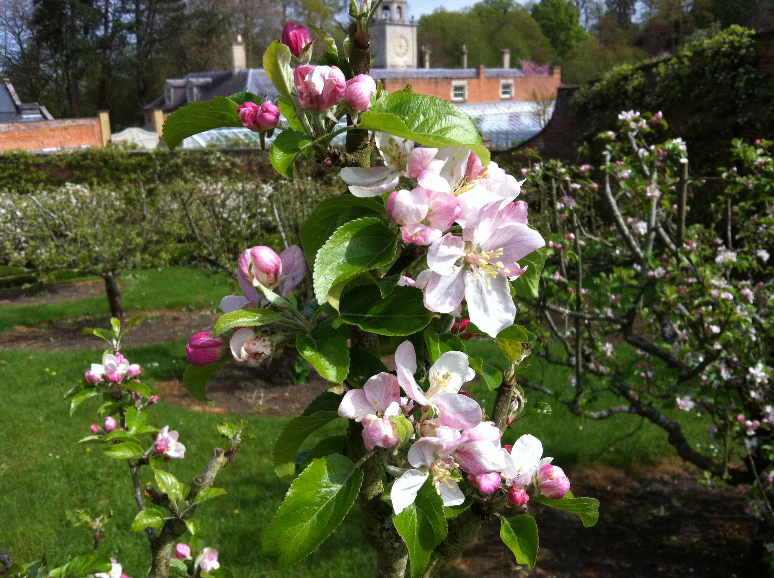 Apple tree covered in blossom following specialised pruning as requested by client. These apple trees were summer pruned as if they were espalier fruit trees grown against a wall.