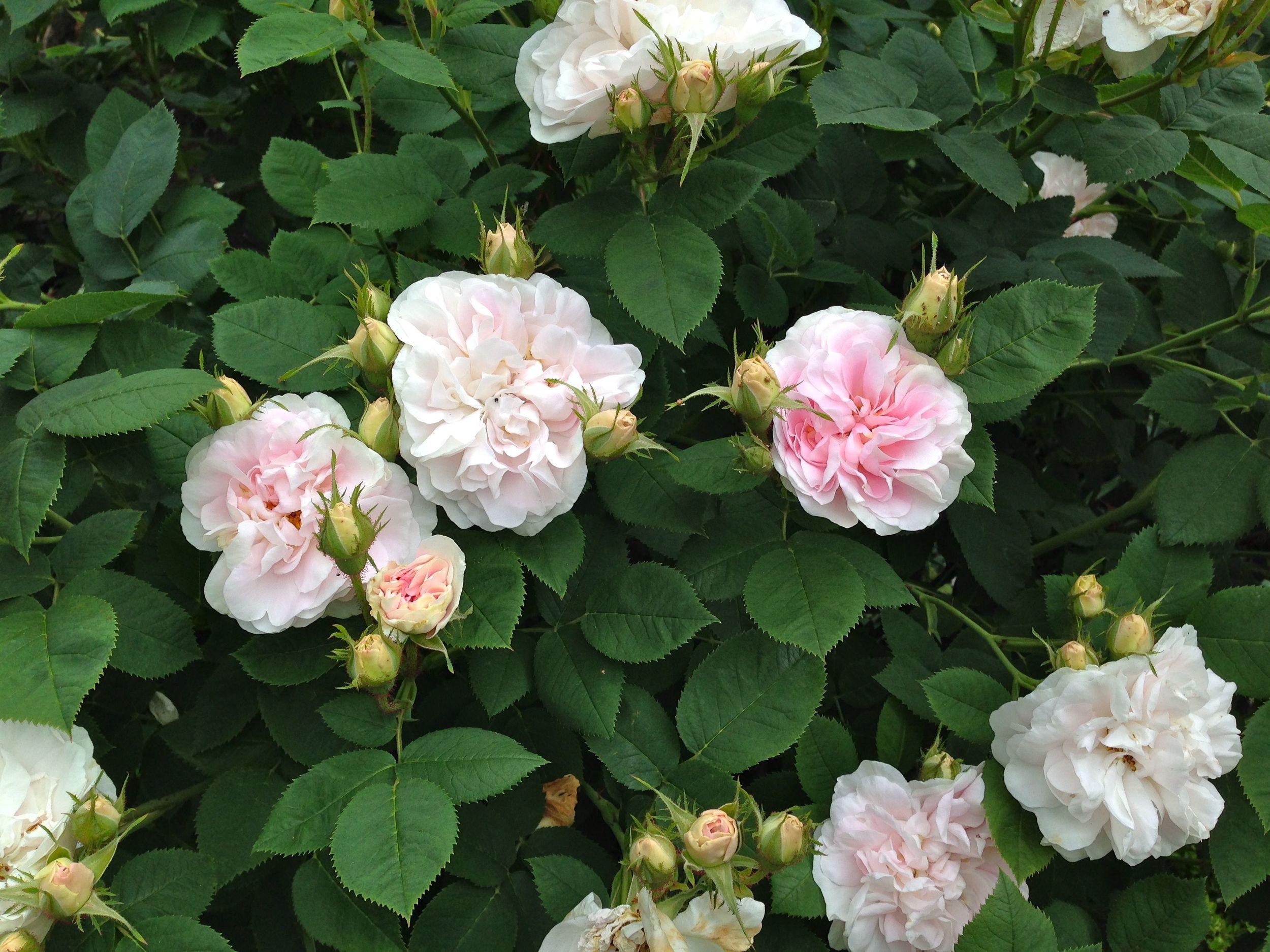 Maiden's Blush in full flower.