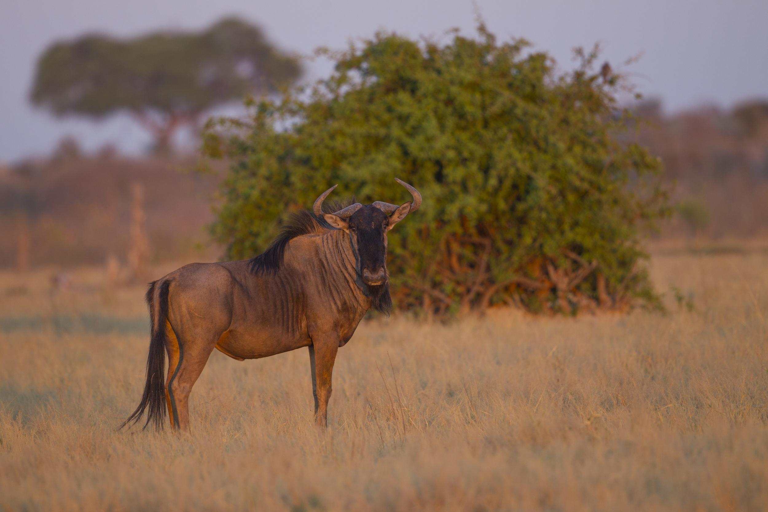 Streifengnu   Connochaetes taurinus    Botswana    Savuti NP    2015