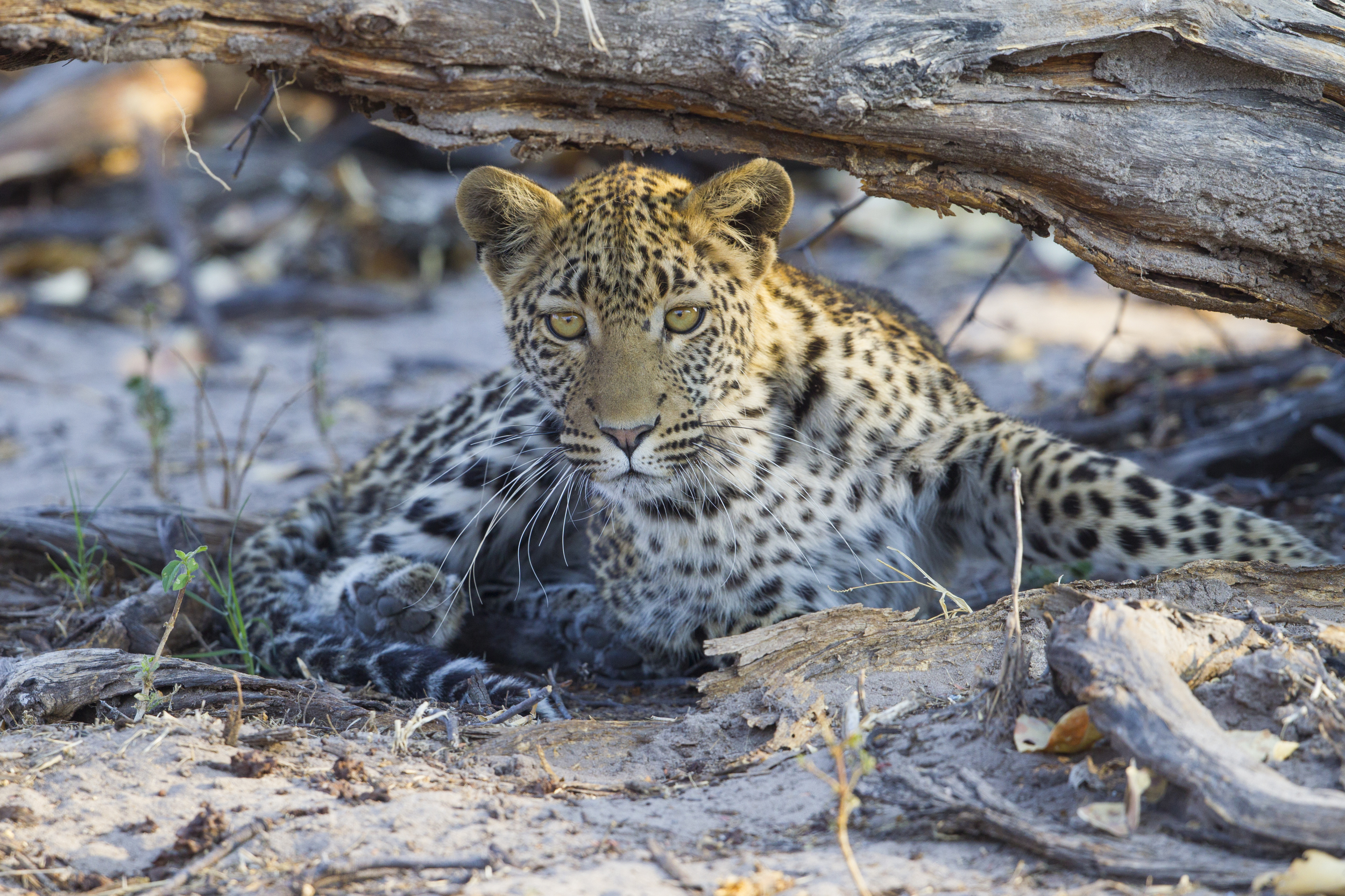 Leopard   Panthera pardus    Botswana    Khwai NP    2015