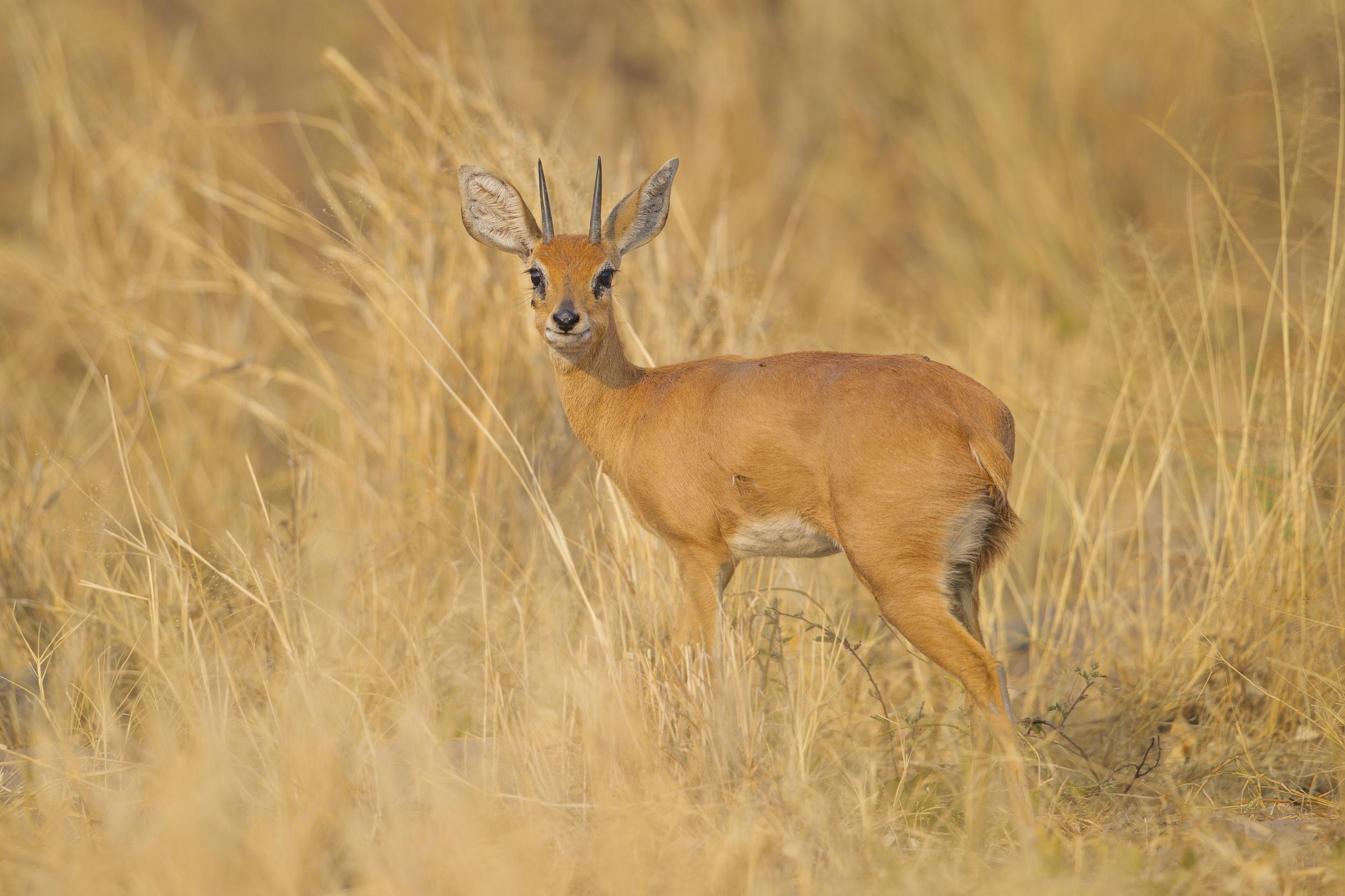 Steinböckchen   Raphicerus campestris    Botswana    Moremi NP    2015
