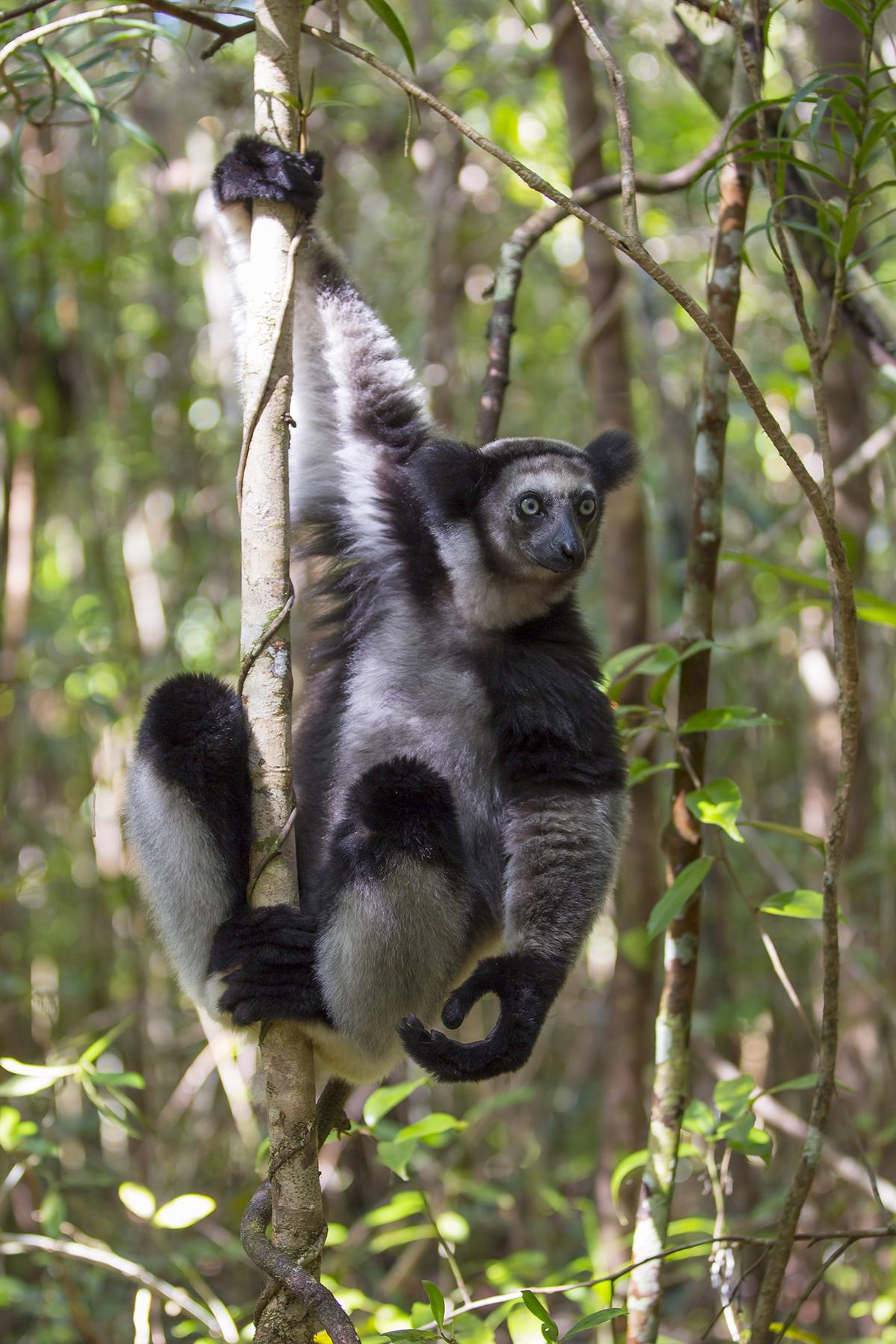 Indri   Indri indri   Canon 5 d III  2,8/70 mm  1/30 sec  Iso 100  Madagaskar  8:33 Uhr