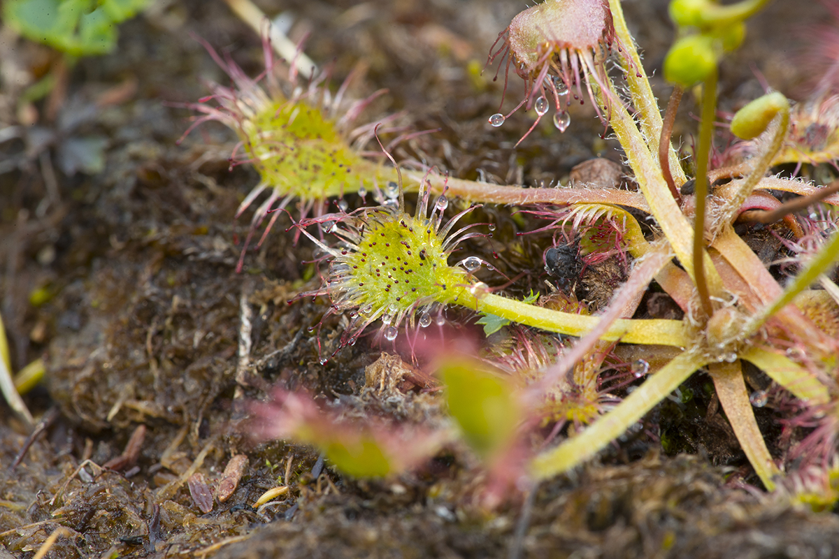 Drosera rotobifolia  Sonnentau