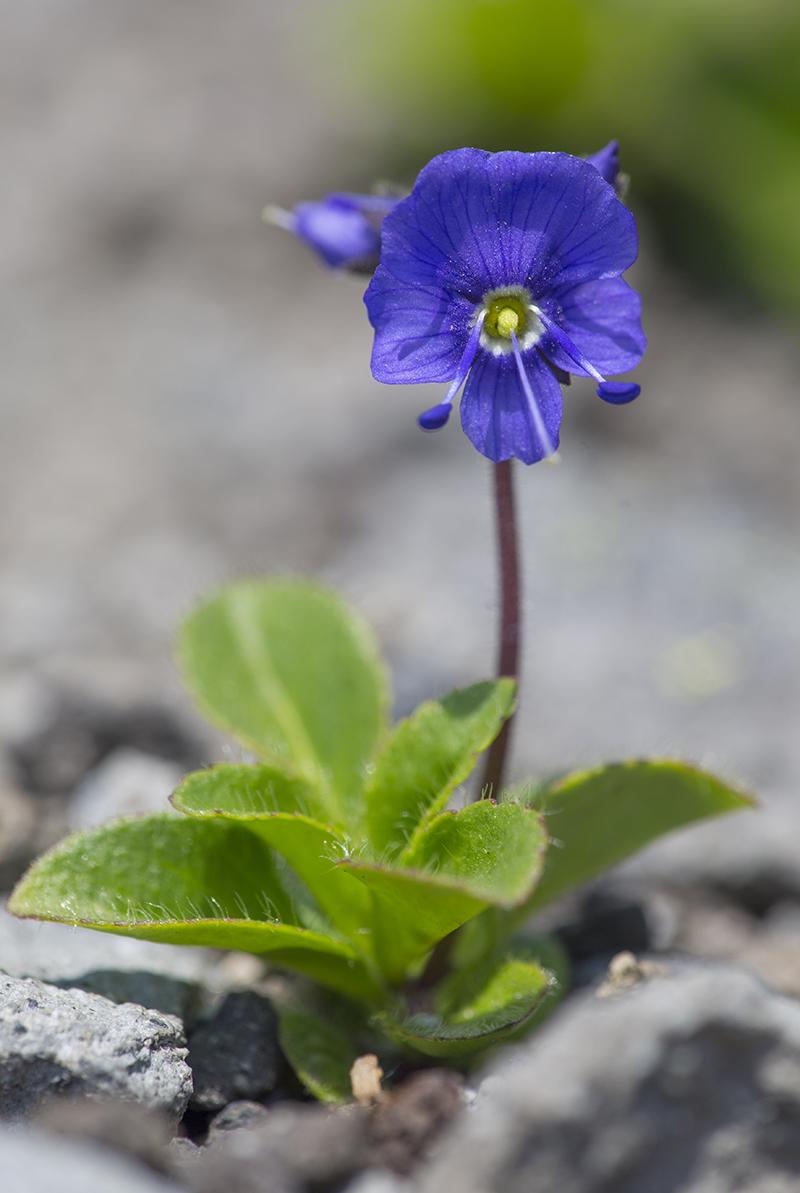 Veronica grandiflora  Ehrenpreis