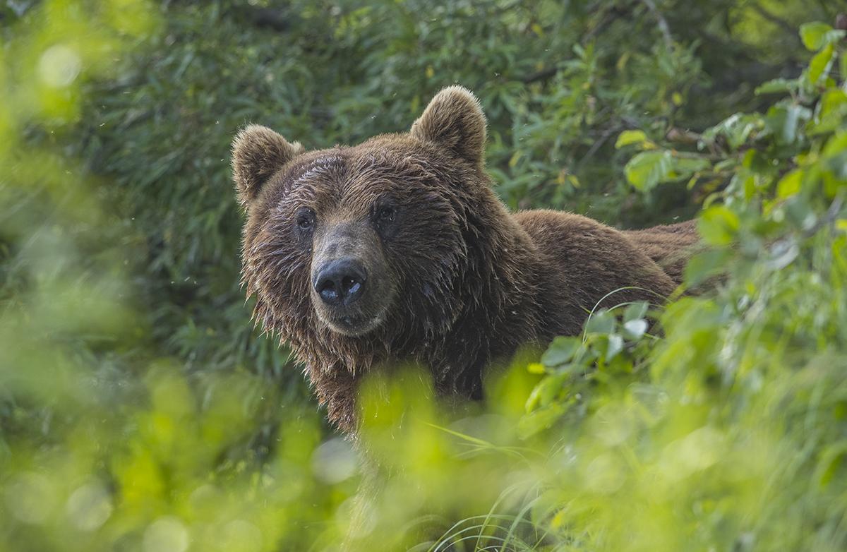 Auch  erwachsene  große  Männchen  interessierten  sich für   Fotografie.  Es war etwa  9m von mir  entfernt.