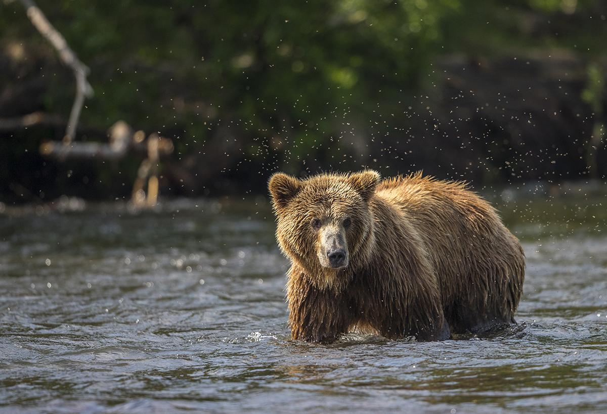 Mücken setzen auch den Bären zu.