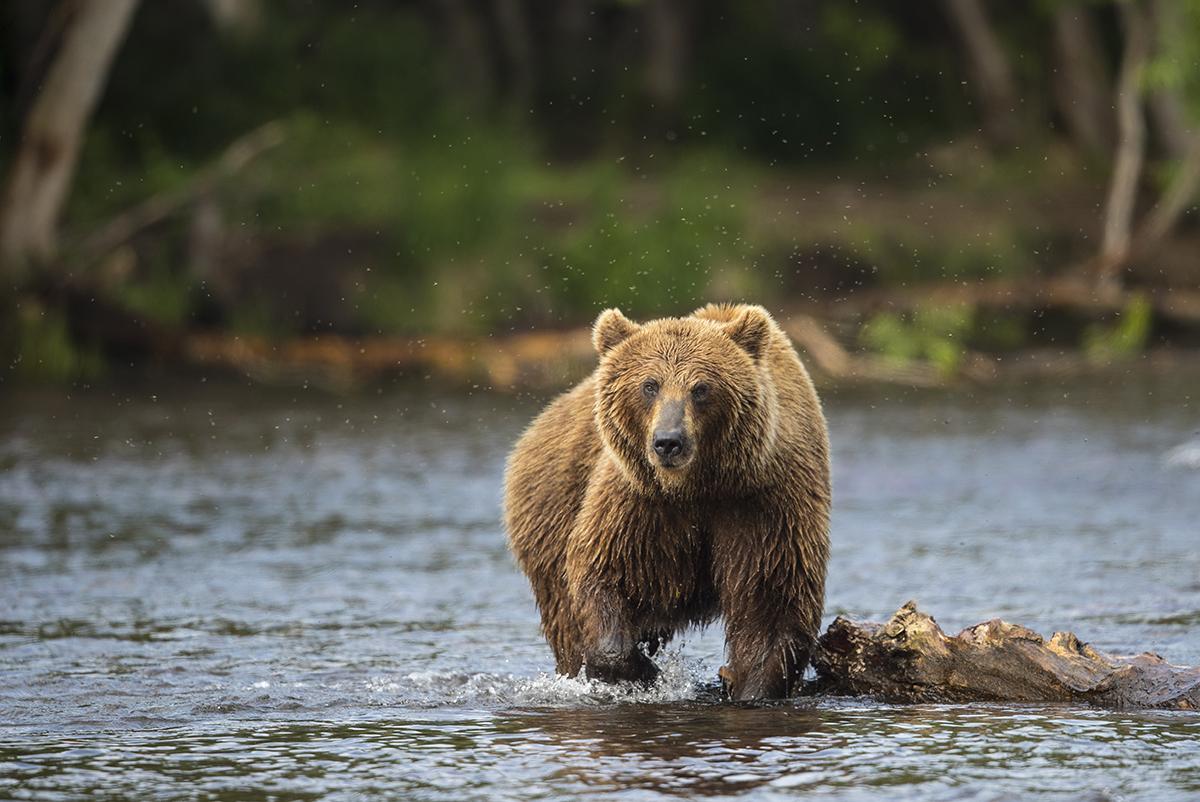 Braunbär  Ursus arctos  Kamtschatka  Russland  2018