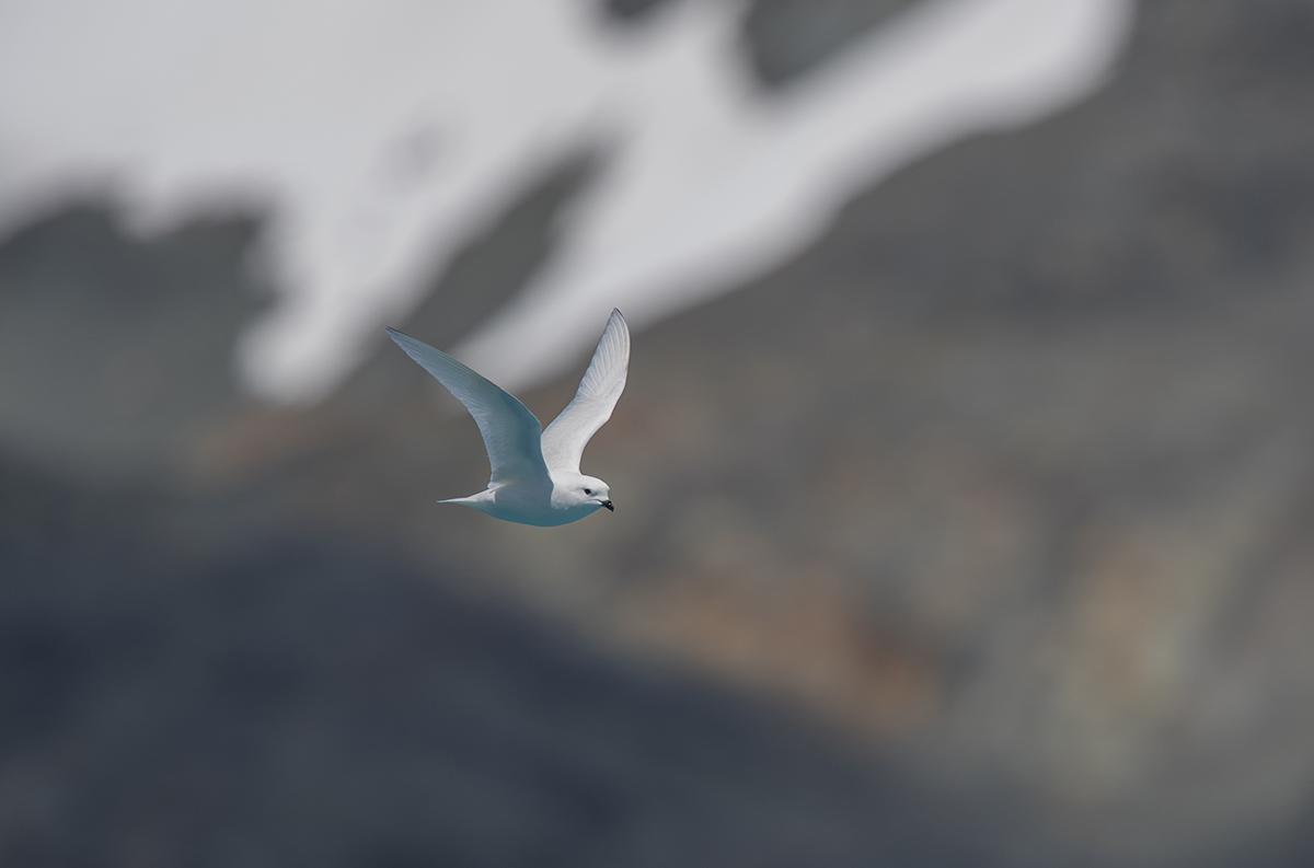 Schneesturmvogel  Pagodroma nivea  canon 1 d x II  4/420 mm  1/2000 mm  ISO 100  Südgeorgien  12.12.2018  11:14 Uhr