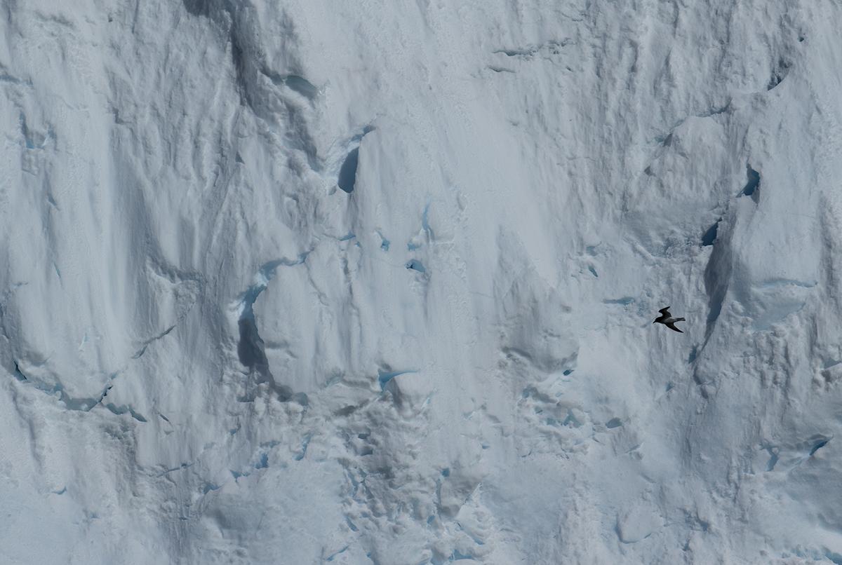 Antarktiksturmvogel  Thaassoica antarctica  Canon 1 d x II  11/300 mm  1/2500 sec  ISO 400  Melchior Inseln  19.12.2018  9:02 Uhr