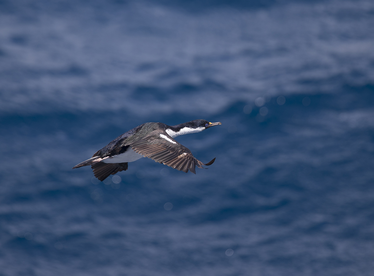 Antarktikscharbe  Phalacrocorax bransfieldensis