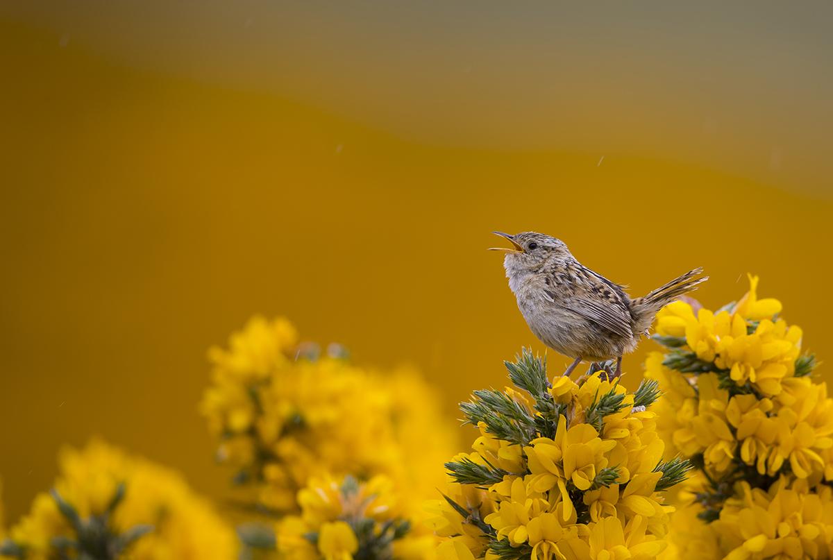 Falklandzaunkönig   Troglodytes cobbi    Falkland