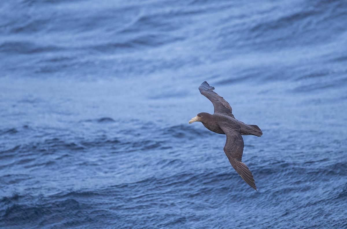 Südlicher-Riesensturmvogel   Macronectes giganteus