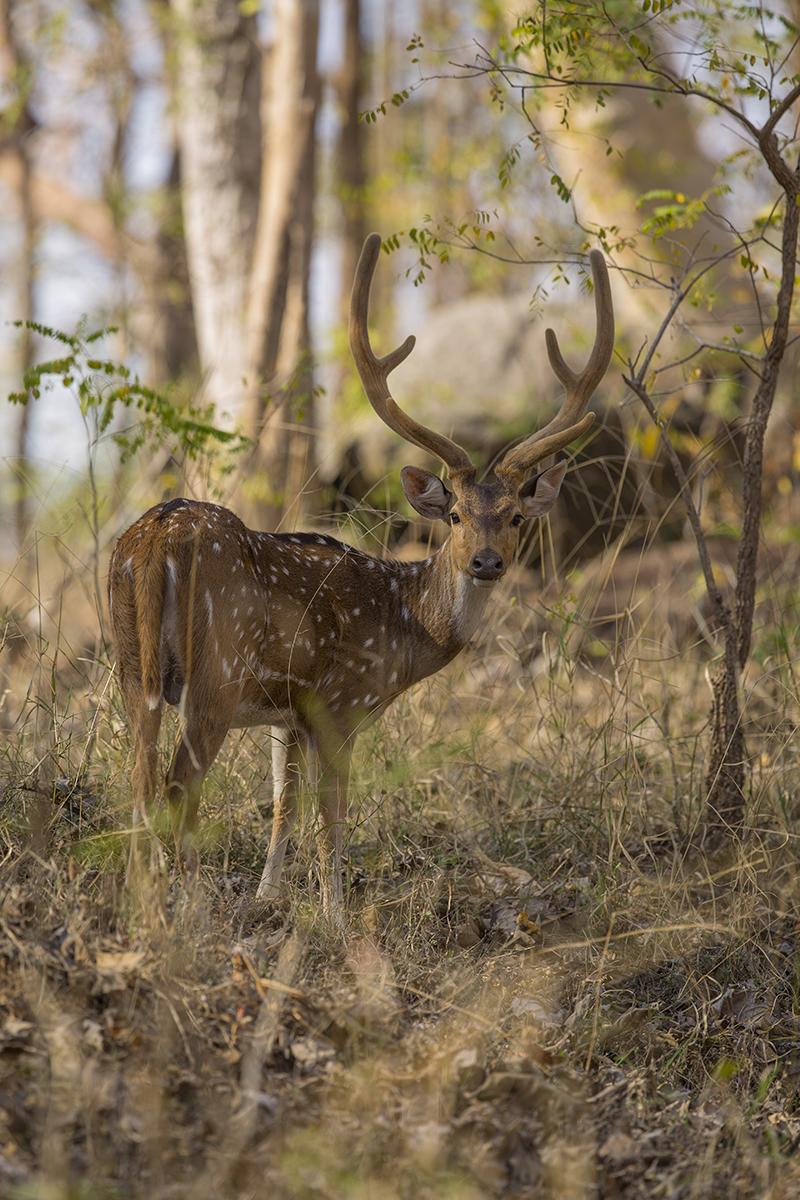 Die am häufigsten vertretene Hirschart im Tigergebiet und damit seine Hauptnahrung.  Axishirsch  Axis axis