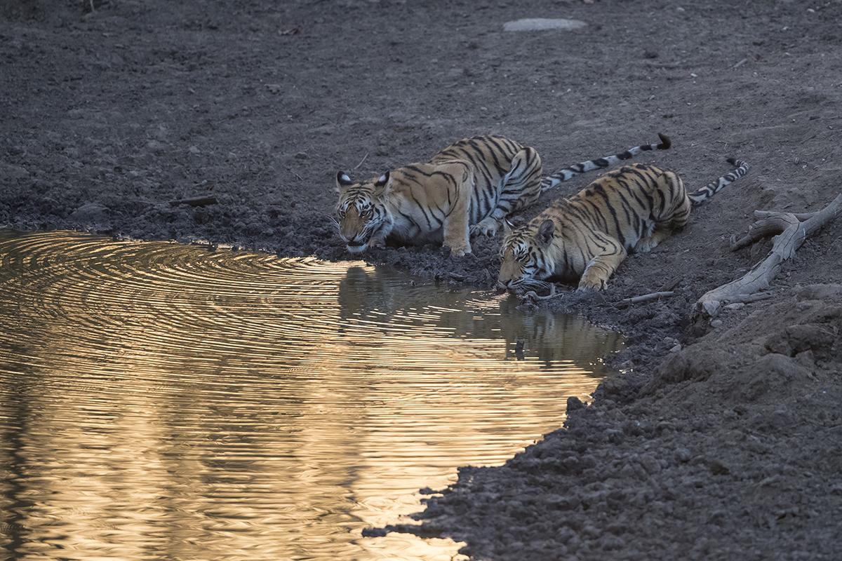 Nach drei Tagen treffen wir im letzten Tageslicht an einer Wasserstelle auf unsere ersten Tiger.  Tiger   Panthera tigris     canon 1 d x II  4/ 500 mm  1/ 250 sec  ISO 2000  01.04.2019  18:25 Uhr
