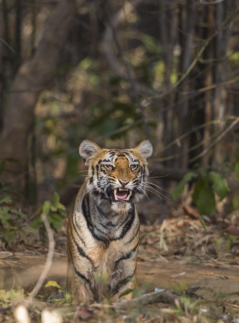 Junger Tiger im Wald wartet auf den Jagderfolg seiner Mutter.