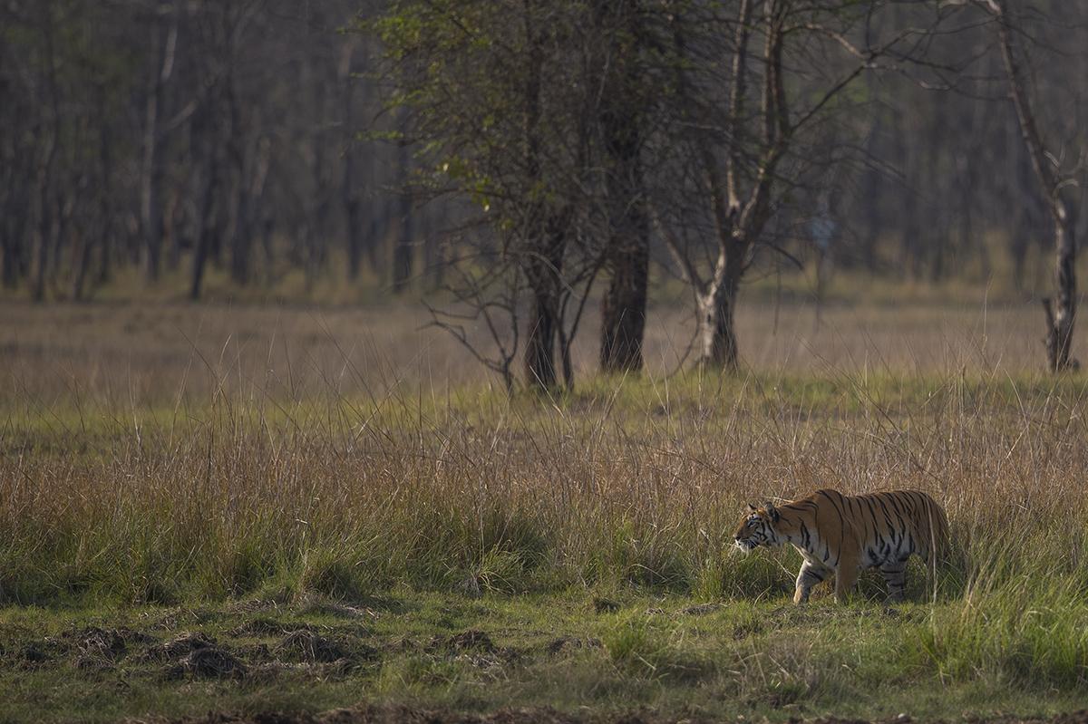Tiger-Mutter bei der Schweinejagd am späten Nachmittag.