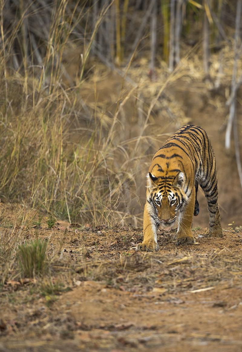 Männlicher Tiger auf Kontrollgang in seinem Revier.