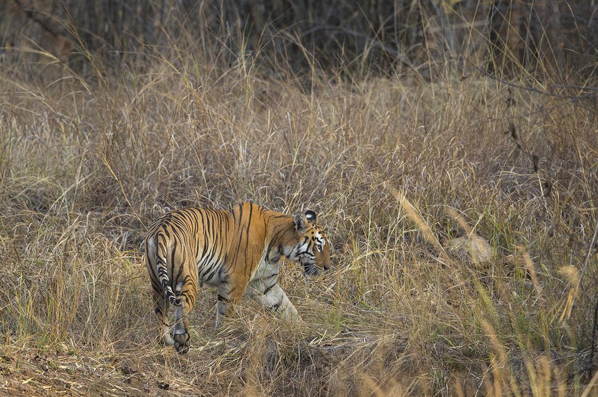 Patriachin einer Tigerdynastie im Tadoba Gebiet