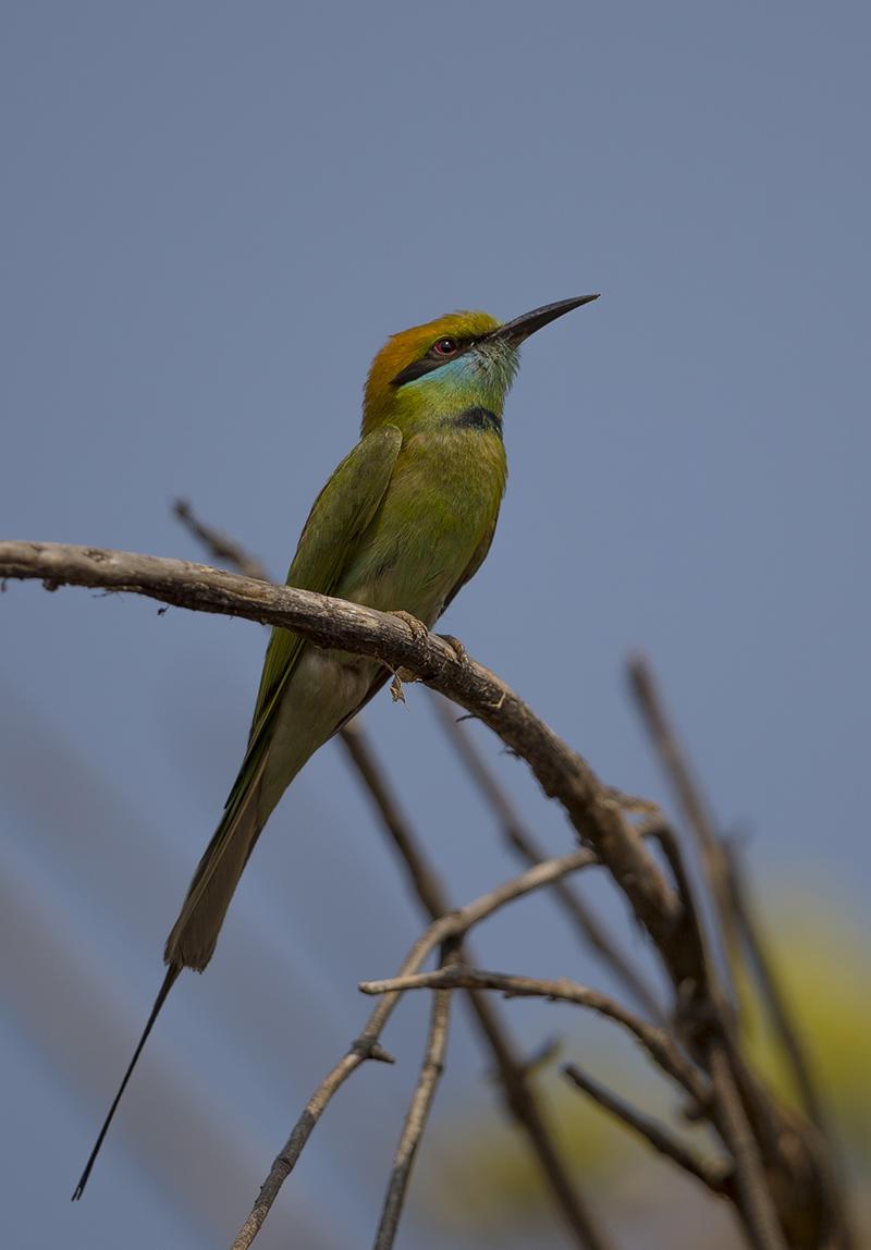 Smaragdspint  Merops orientalis