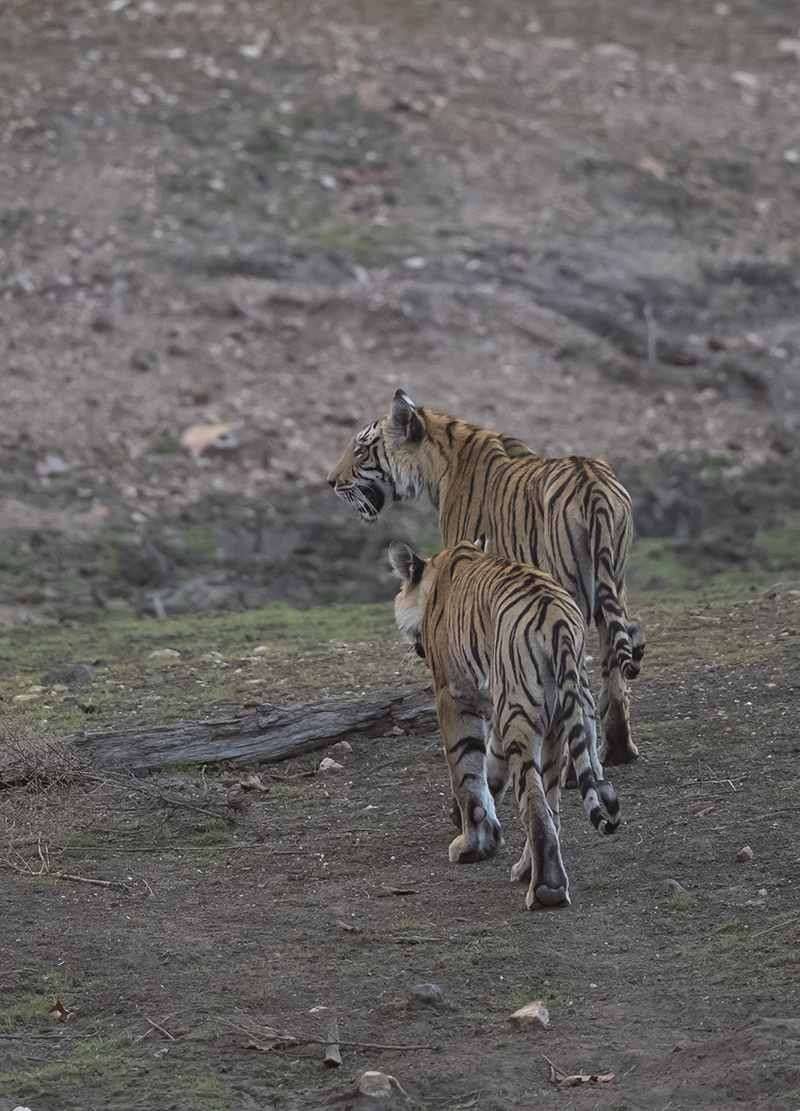 Tiger   Panthera tigris     Pench  Indien  3.2019