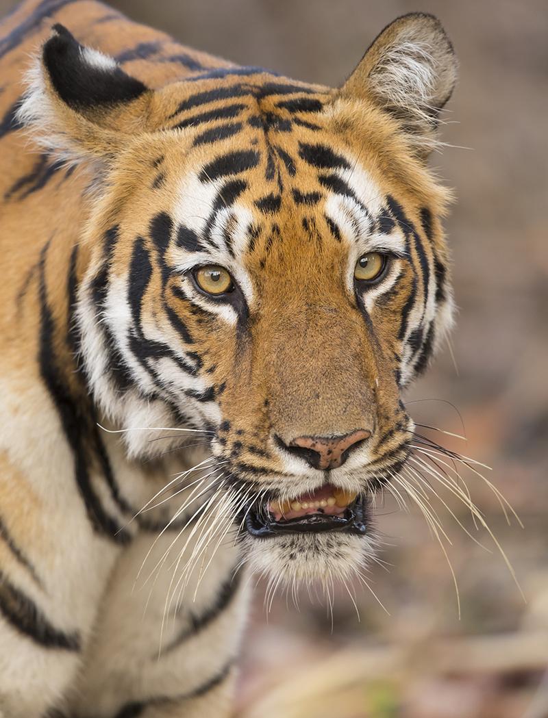 Tiger   Panthera tigris     Tadoba  Indien  4.2019