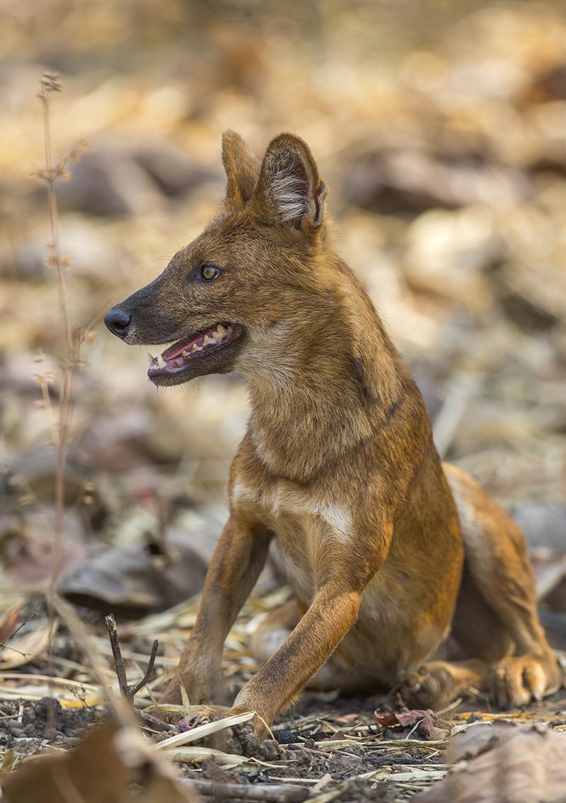 Asiatischer Wildhund  Rothund   Cuon alpinus     Tadoba  Indien  4.2019