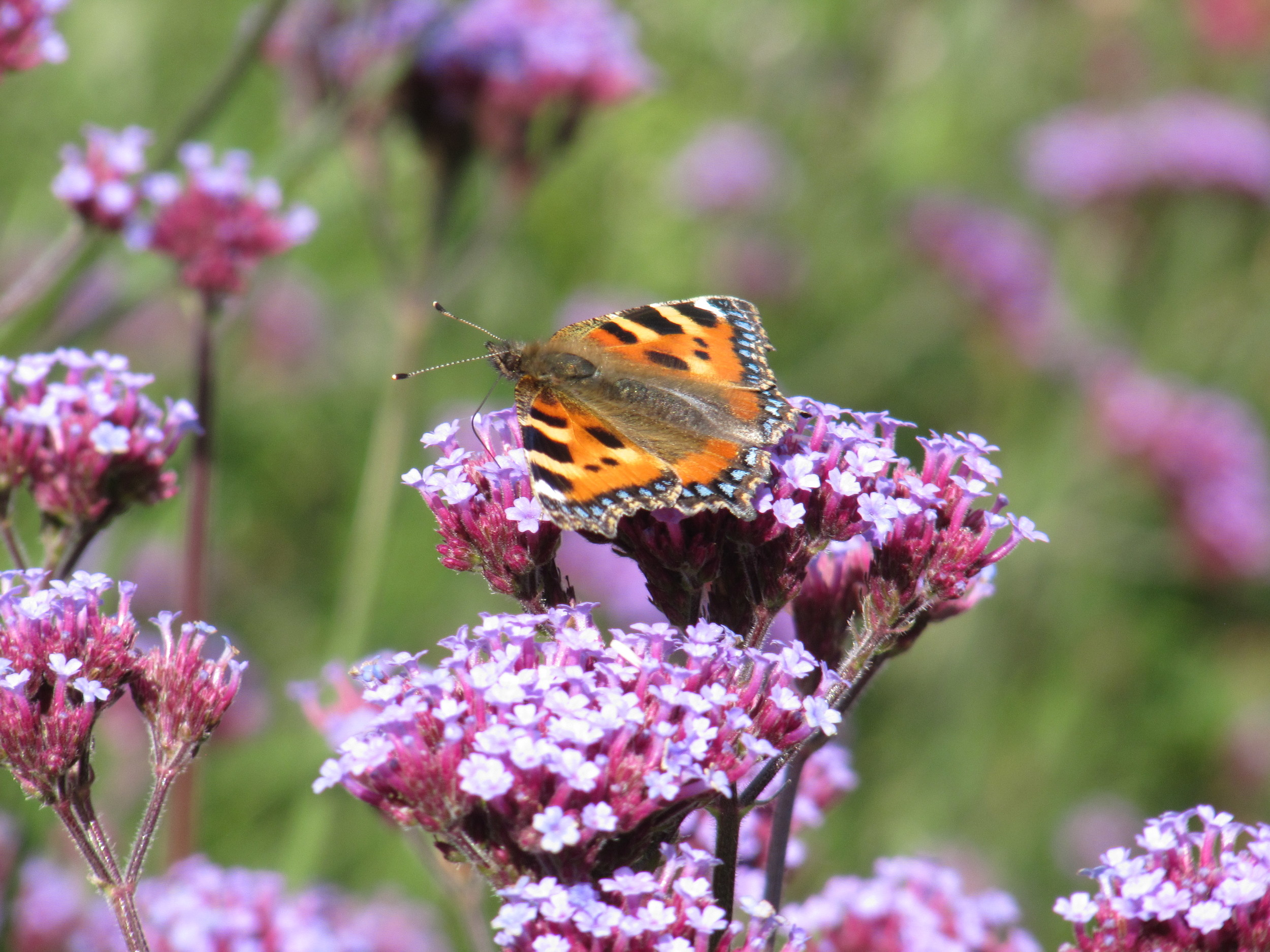 Verbena bonariensis with a small tortoiseshell butterfly taking a drink. An excellent pollinator plant.
