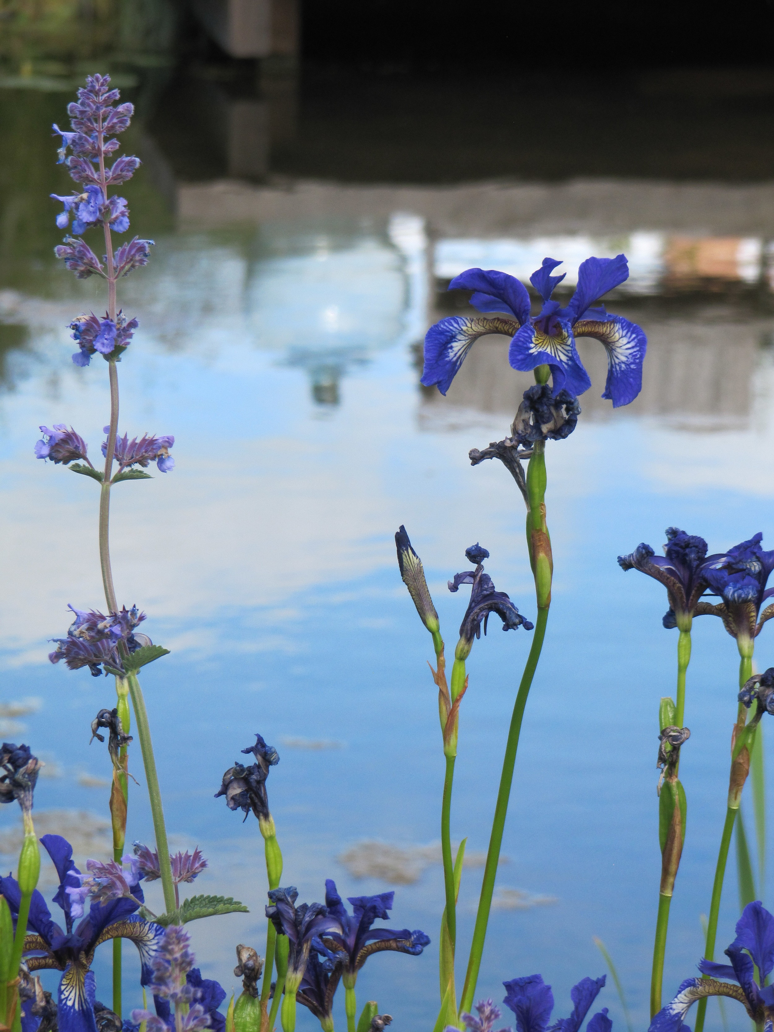 Iris sibirica reflected in an open garden pond.