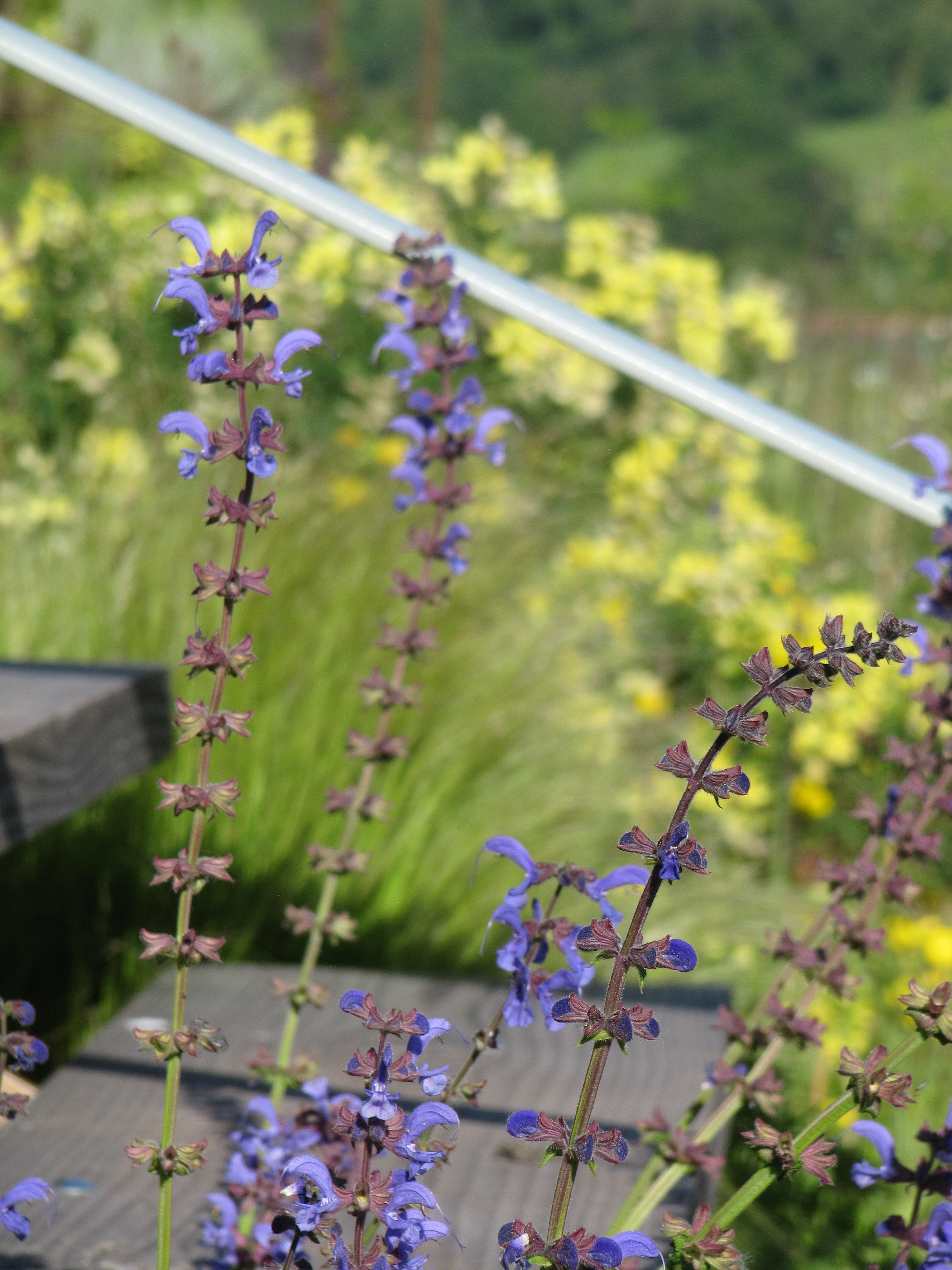 Clary sage a rare British native in a garden by contemporary floating steps.