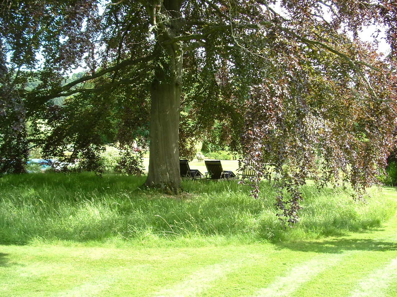 A wonderful mature copper beech with a long grass lawn beneath, a perfect place to sit on a warm day
