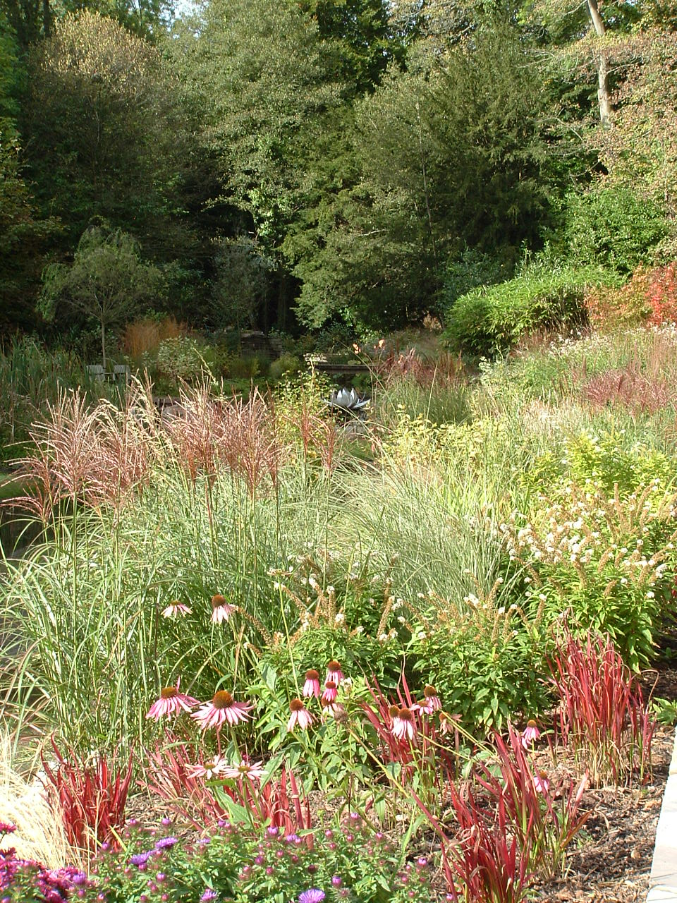 Large swathes of ornamental grasses, Miscanthus and Panicum species,colour brilliantly in autumn and blend in tones of red and pink with Echinacea purpurea