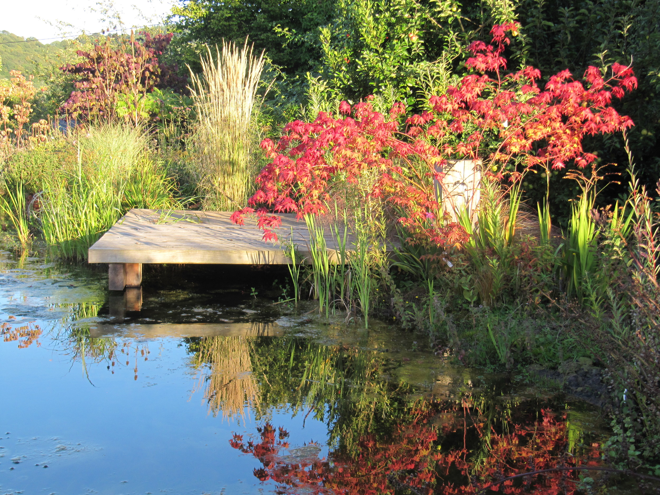 Acer palmatum, its fiery red autumn foliage reflected with the clear blue sky of a sunny October day