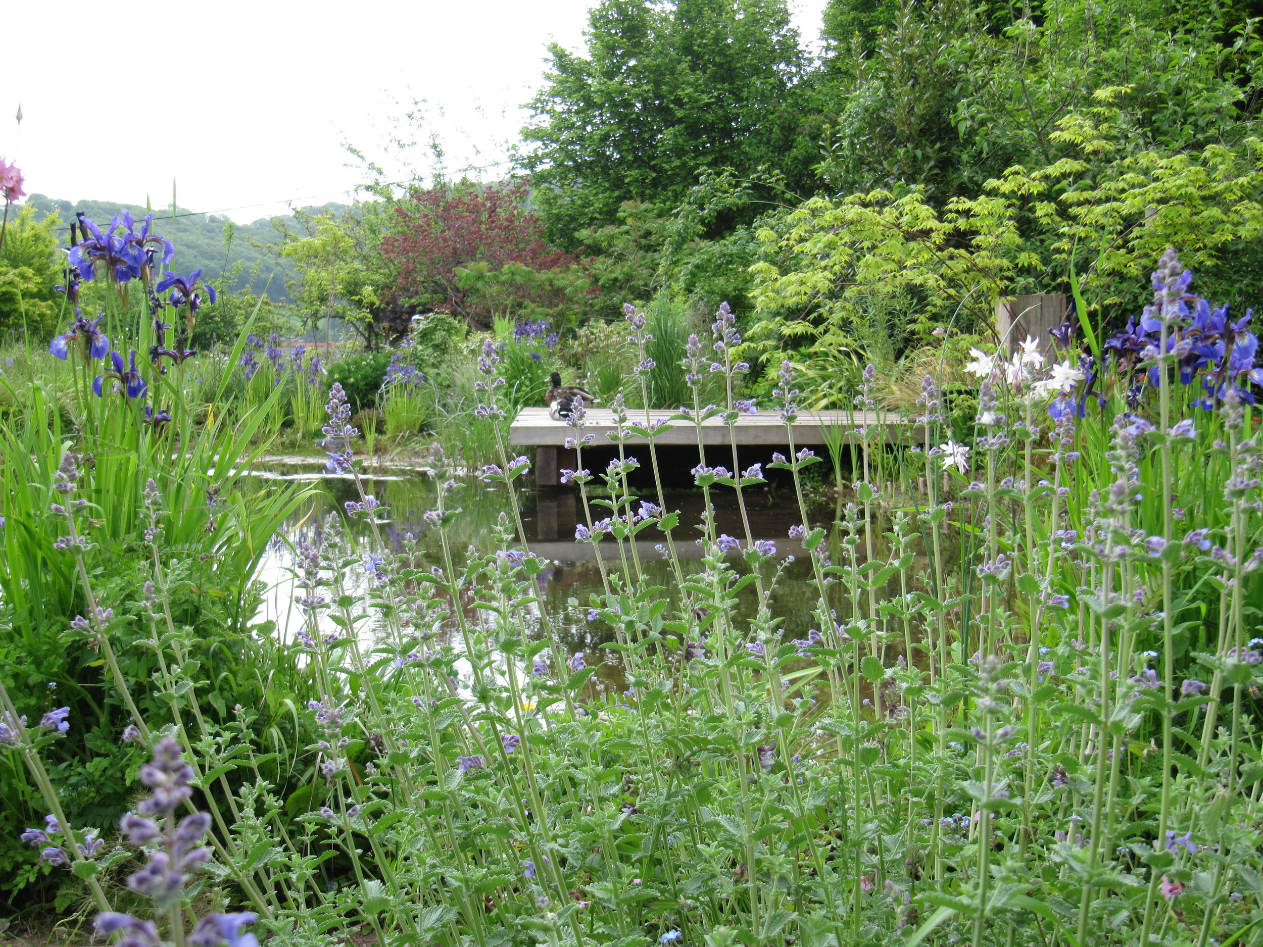 A wildlife pond surrounded by a mix of natives and ornamental plants to give a long season of interest to insects, birds, amphibians and people.