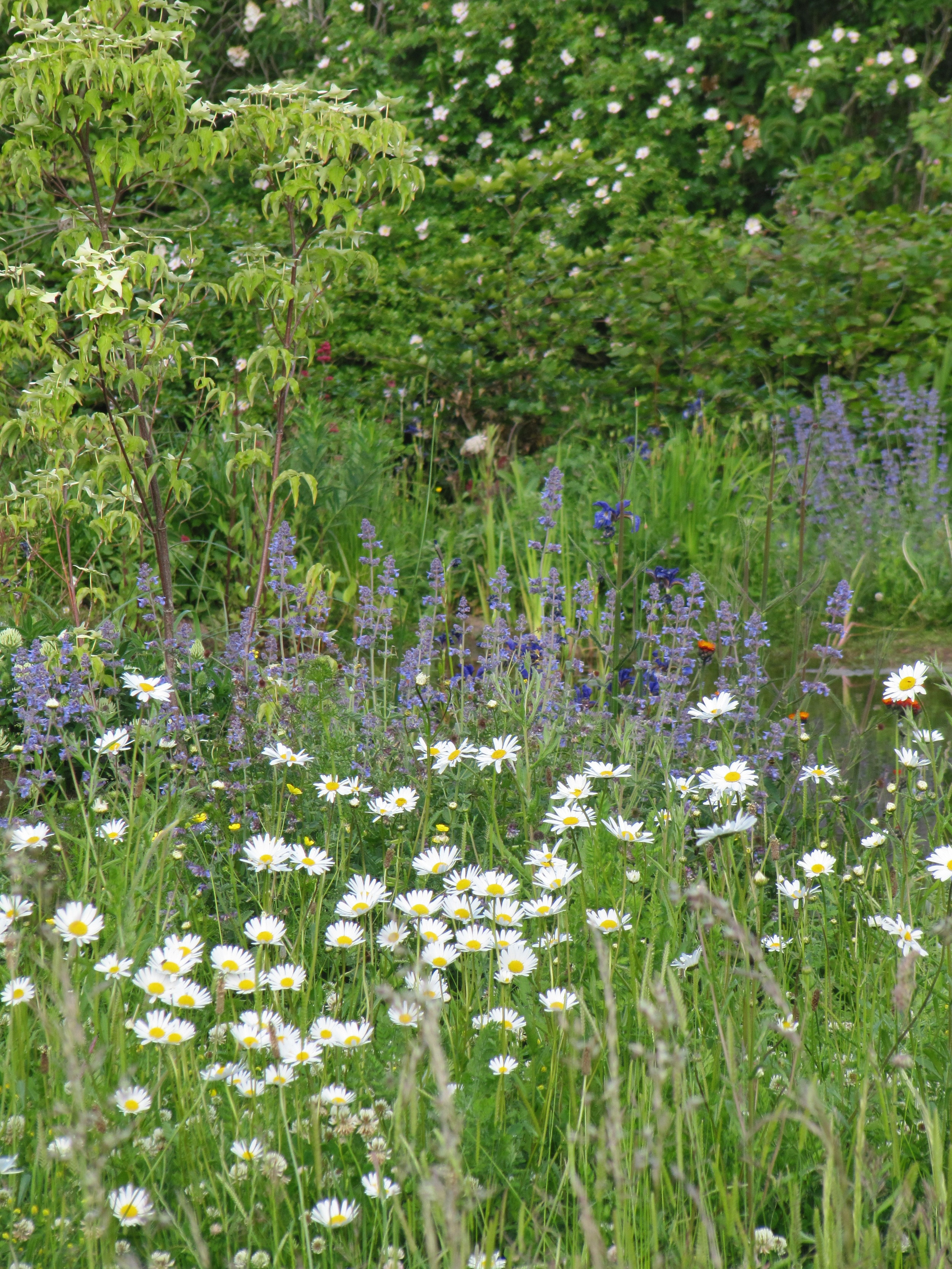 Dog daisies, Leucanthemum vulgare  and catmint, Nepeta 'Six Hills' Giant'.
