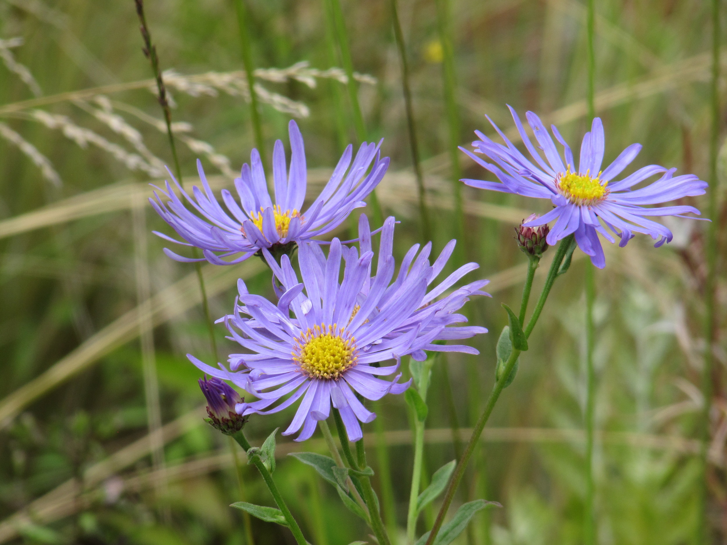 Aster 'Monch' a lovely late flowering perennial.
