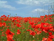 Field poppies.JPG