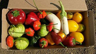 Solanums_in_a_box.jpg