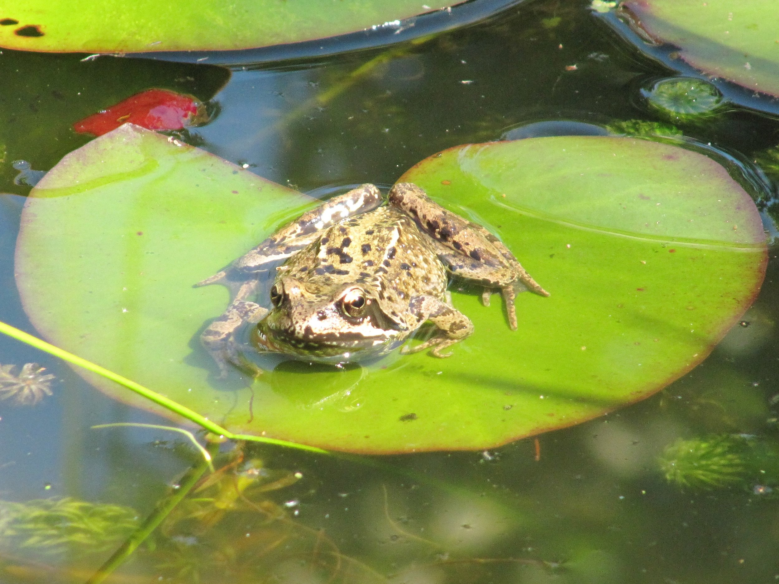Frog on lily pad.jpg