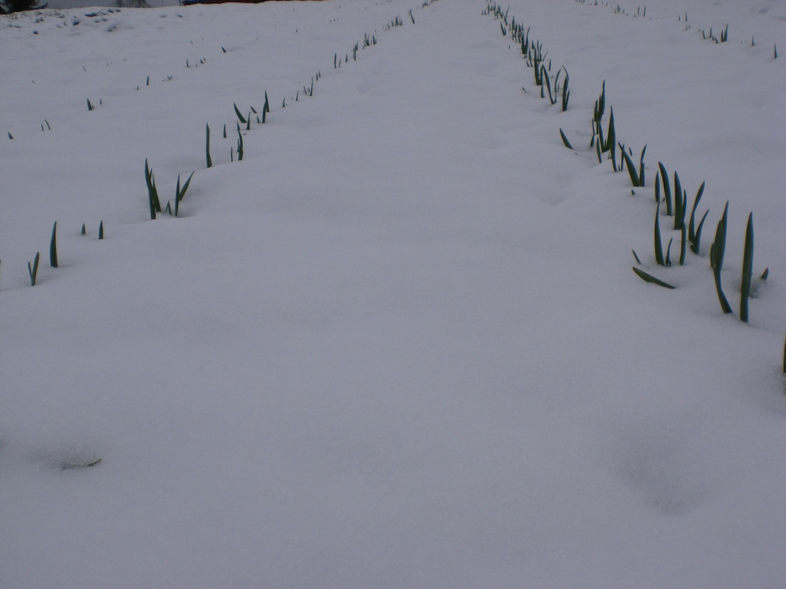 Frost og snøfall etter at hvitløken er kommet opp i april mai, er aldri noe problem.