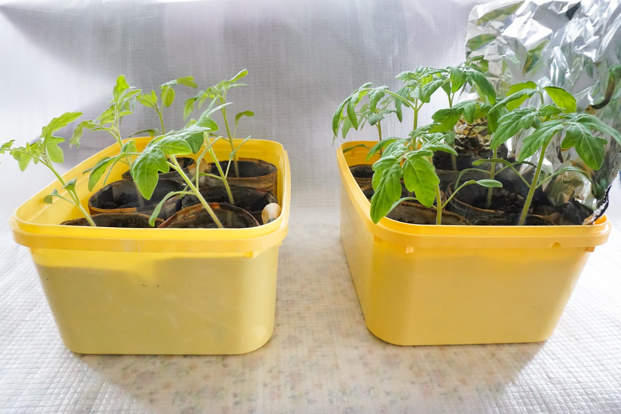 To grupper med samme tomatsort, samme størrelse ved start og samme vindusplassering, men den ene med aluminiumsfolie bak. Bildet taler for seg selv.