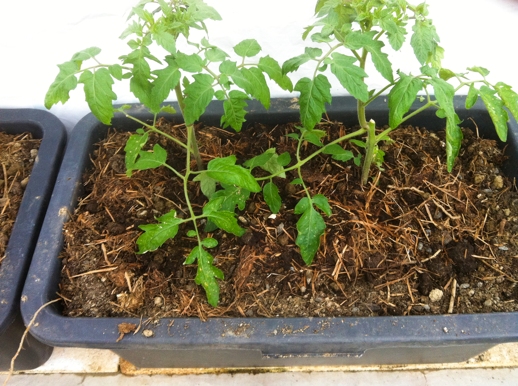 Tomatene ble i går plantet ut i en kortreist, hagenær jordblanding av leirjord, kompost og gammelt gress.