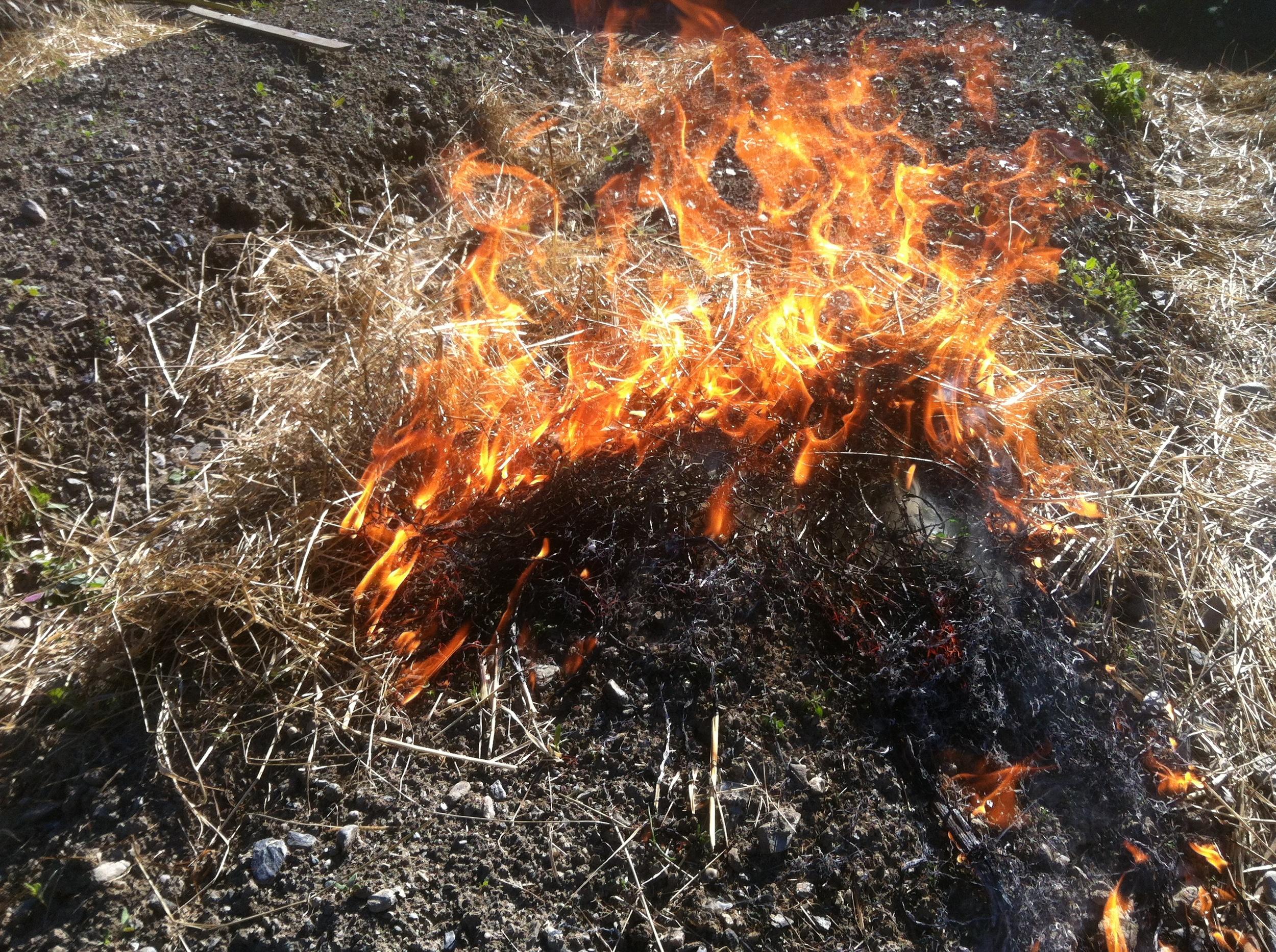 Tørt gress kan legges ut og brennes på såbed for å fjerne ugress-spirer før såing og planting.