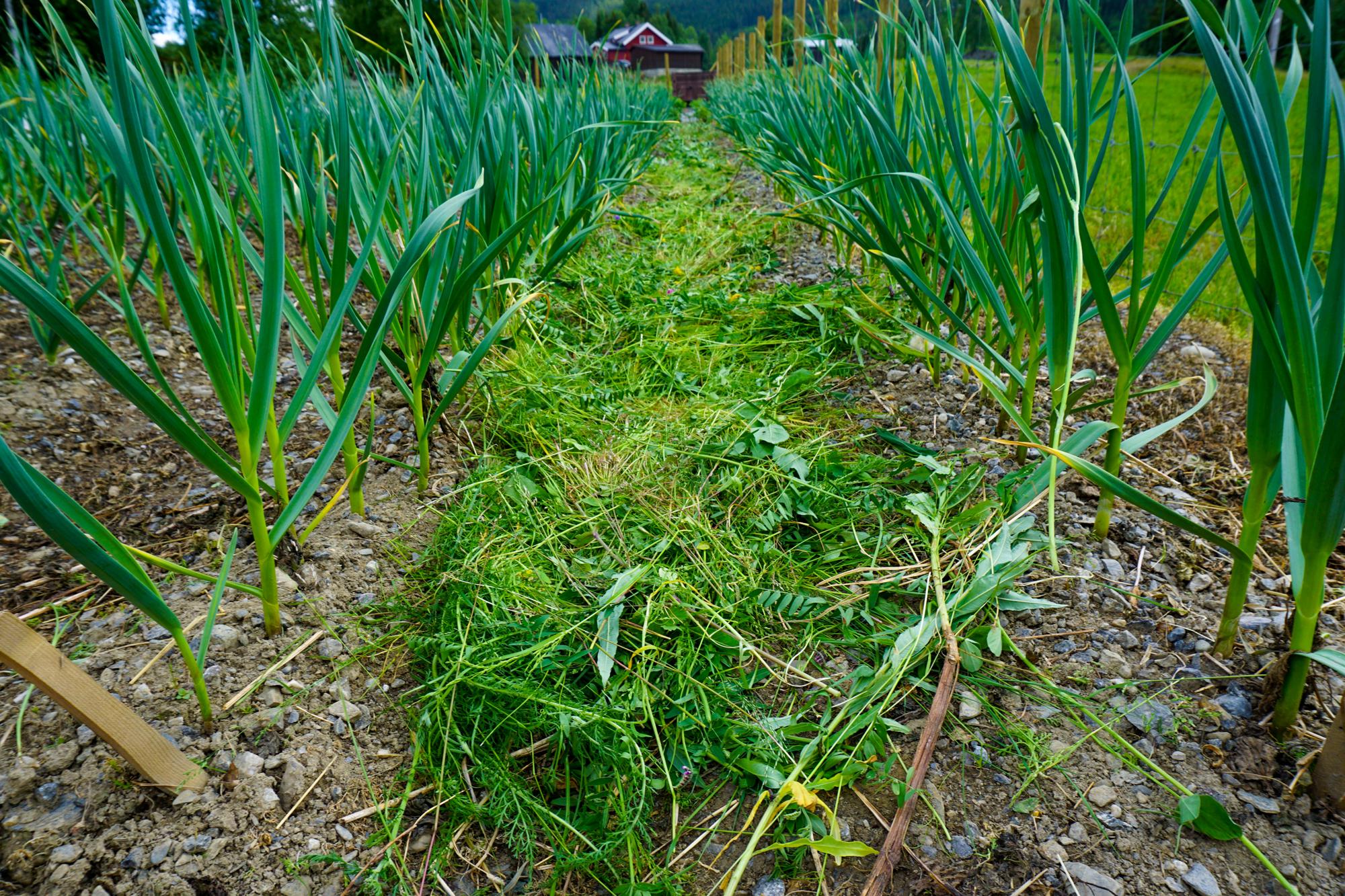 Gress slått i utkanten av hagen, blir godt dekke mellom radene av hvitløk.