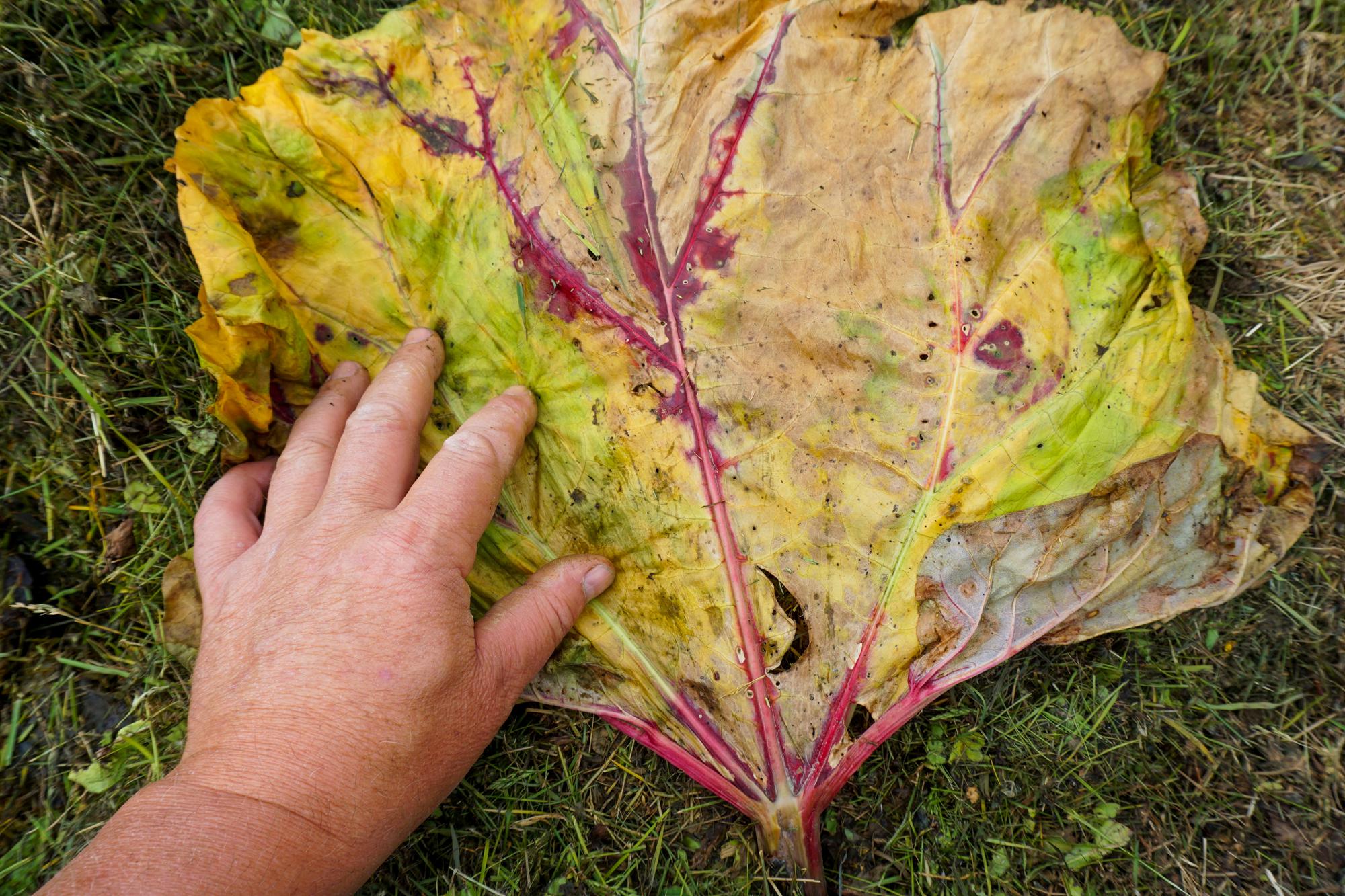 Rabarbrablader som har ligget noen dager, blir myke og føyelige og er lette å dekke med.