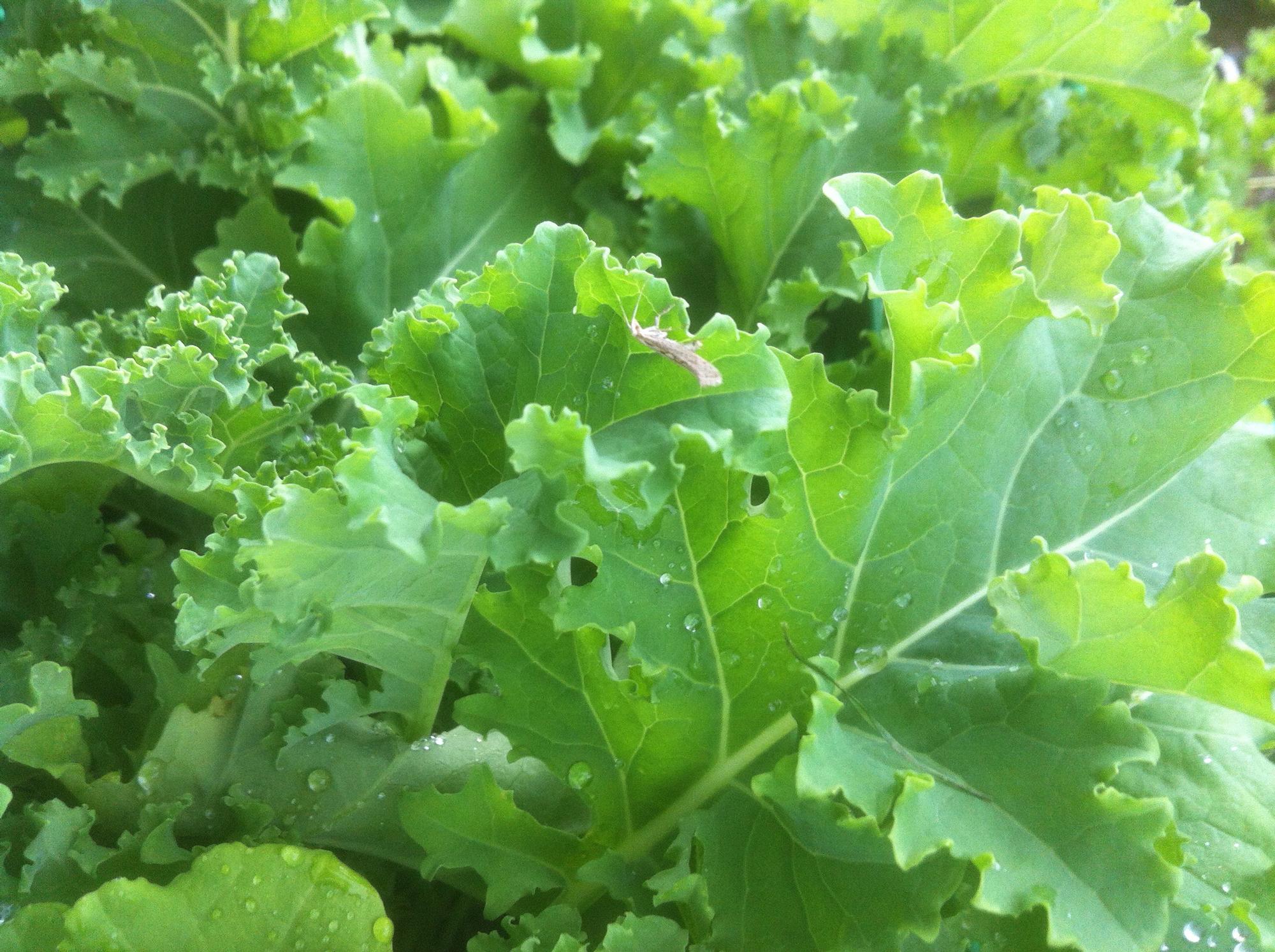 Kålmøll på grønnkålblad.